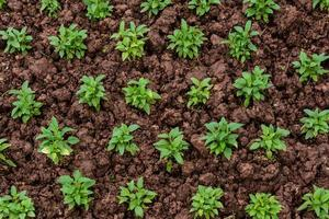 Young plants seedlings in soil, Top view
