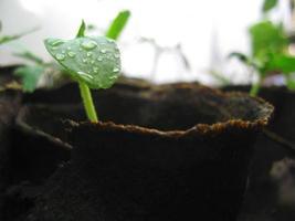 nuevo crecimiento de plantas verdes en vidrio de turba foto