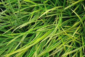 Beautiful natural leaves of Chlorophytum comosum plant photo