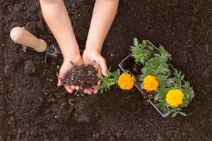 Childs hands learning to plant colorful marigolds