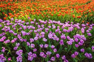Blooming tulip plants in a large field.