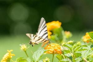Iphiclides podalirius butterfly on a marigold plant. photo