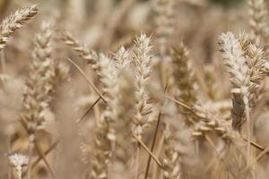 muchas plantas de trigo en otoño listas para cosechar