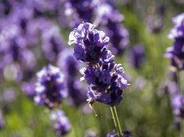 Lavender plant (latin;Lavandula angustifolia) in British garden photo
