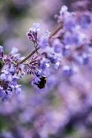 Close up image of wild lavender plant landscape with bee photo