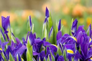 Iris live growing spring plants with opened purple flowers background