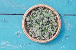 balm lemon-balm mint herbal plant leaves in in wooden plate