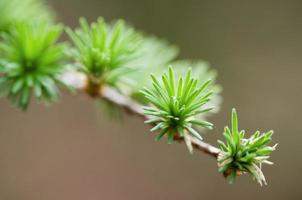 twig of larch photo