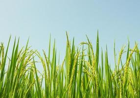 campo de arroz foto