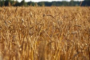 Grain field photo
