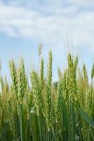 jóvenes espigas de grano en el fondo de cielo azul