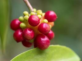 Bright red fruit of the  Kadsura japonica