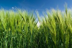 grüner weizen / trigo verde
