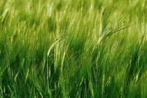 Green field of barley