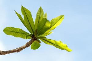 primeras hojas en el árbol en primavera
