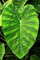 Giant Elephant Ear Taro leaf -- Alocasia macrorrhizos
