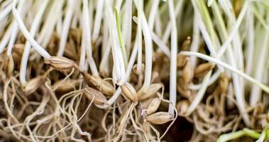 Sprouting barley seeds photo