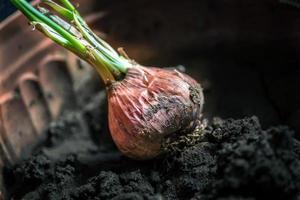 Onion - Dirt - Pot