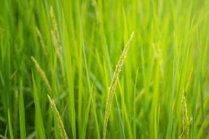 rice field blur background photo