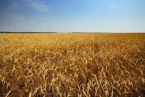 golden wheats field photo