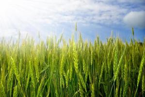 Young ears of grain on sunburst background photo