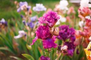 gladiolos en jardín perenne en día soleado foto