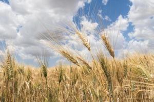 Harvest of ripe wheat photo