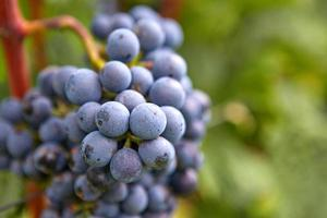 ramo de uvas de vinho tinto