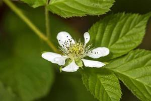 Flower blackberry photo
