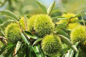 Tamba chestnut
