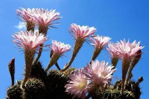 verschiedene Echinopsis-Kaktusblumen auf blauem Himmel
