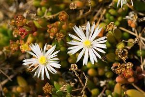 Delosperm karrooicum, AIZOACEAE, South Africa