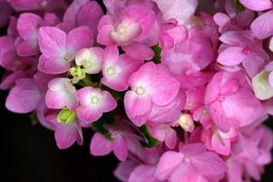 flor de hortênsia rosa de perto
