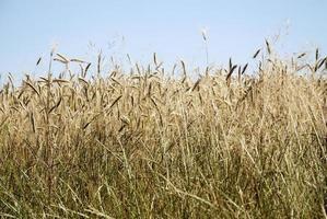 Field of rye in Germany photo