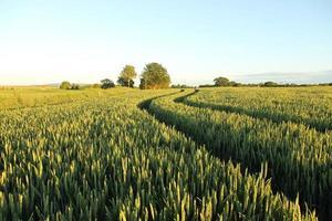 Machinery tracks through wheat crop