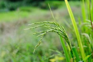 riz. épillet de riz. Thaïlande
