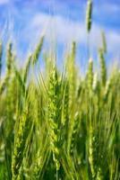 jóvenes espigas de grano en el fondo de cielo azul foto
