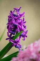 Purple hyacinths in the garden