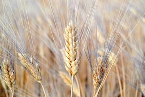 Wheat field with ears of wheat blossom