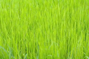 Fondo de arroz en el campo. foto