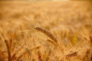 Wheat ear on field photo