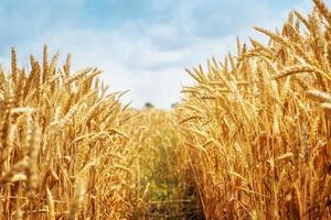 Golden wheat photo