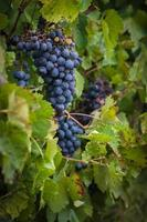 red wine grapes on the vine with green leaves