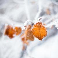 Yellow leaves covered with hoarfrost photo