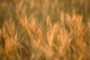 Gold wheat field photo