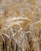 Ripe heads of golden wheat in the field