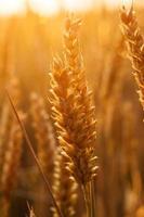 Telón de fondo de maduración de espigas de campo de trigo amarillo foto