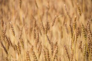 Wheat fields before harvest that is colored in gold