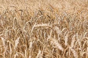 Wheat (Triticum Sp.)