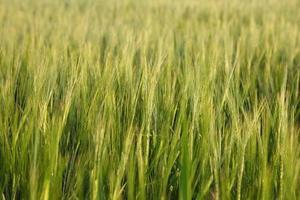 Green Wheat Background XXL